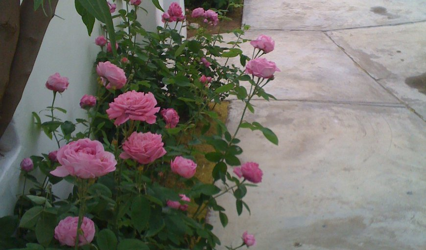 Antique roses in front courtyard