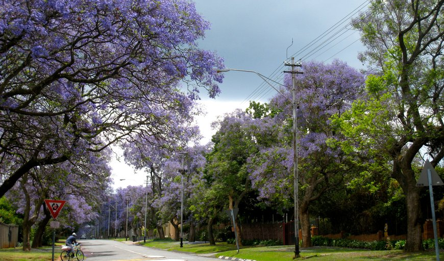Jacarandas in the streets of Linden during October.