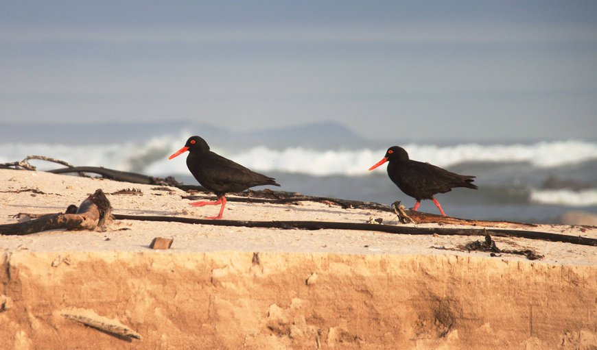 Red-bill Oyster peckers or black Tobi
