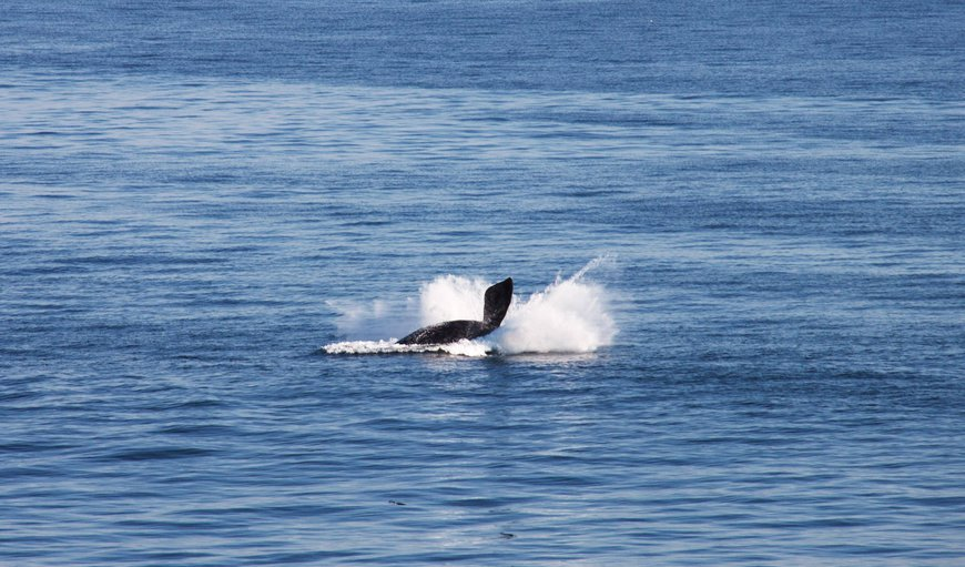 Breaching Southern Right Whale in front of apartments