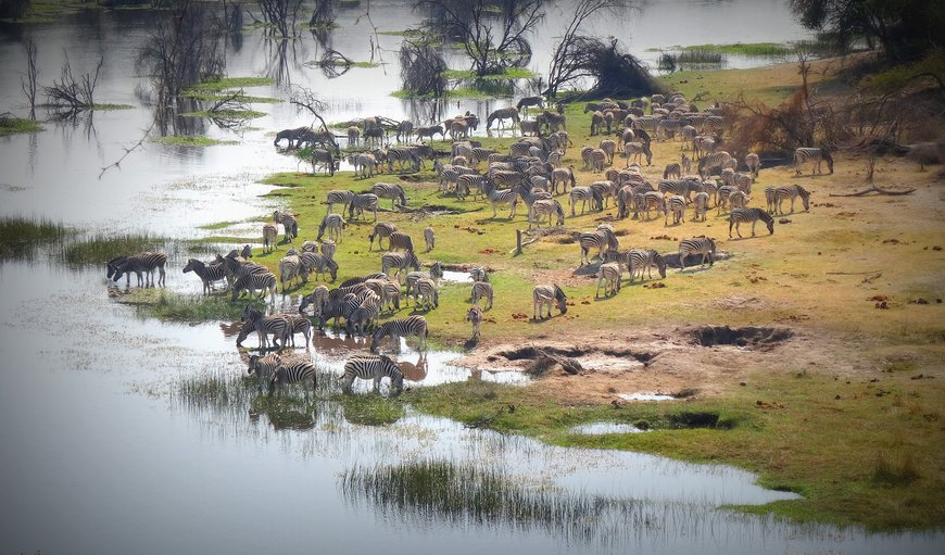 Some of Botswana's most impressive wildlife concentrations occur along the river during the dry season and includes large herds of zebra and wildebeest, antelope, elephant, White rhino, predators, giraffe, hippo, crocodile, and many bird species. A number of resident species do not migrate away at the onset of the rains and so the Boteti area maintains a population of wildlife all year round.