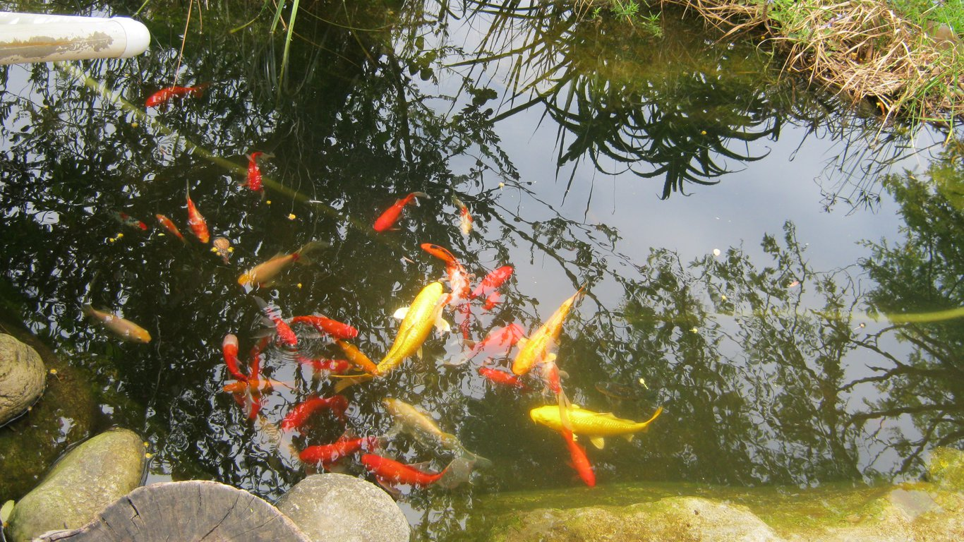 Betty 39 s rest in betty 39 s bay best price guaranteed for Koi pond price