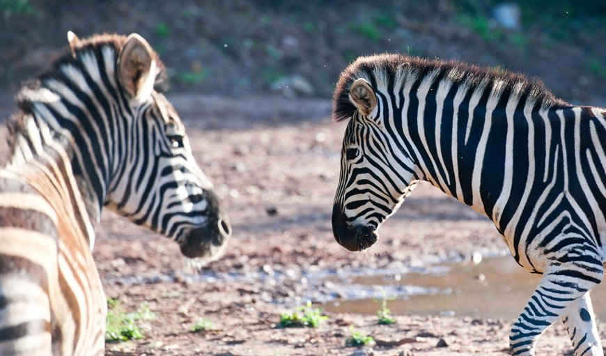 Zebra at Orange Grove Farm