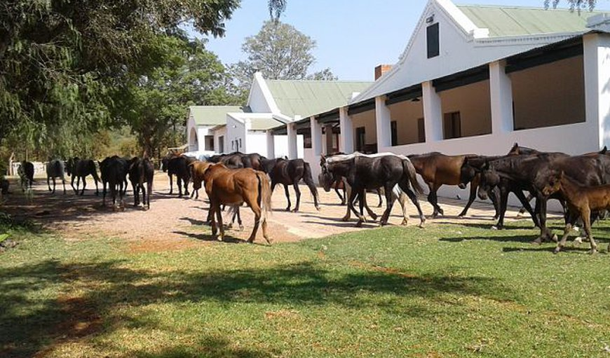 Horses passing by in Bela Bela (Warmbaths), Limpopo, South Africa