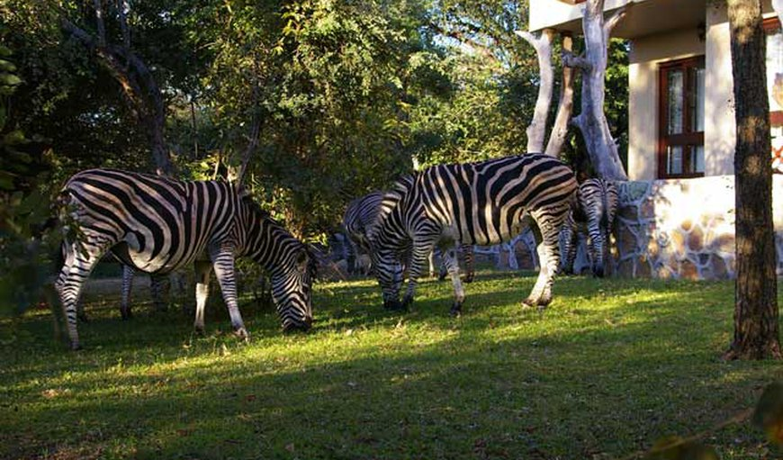 Zebra's in the front garden