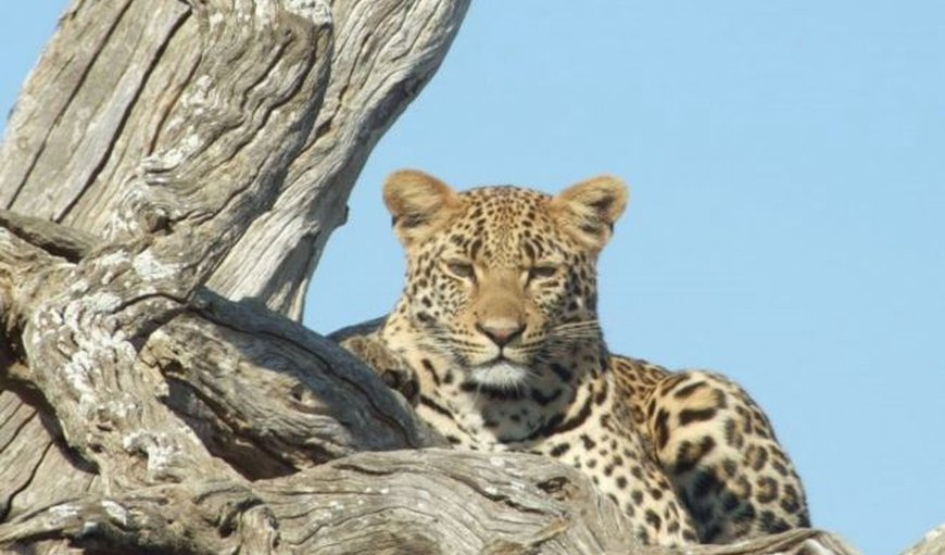 Amazing nearby sighting of a leopard on one of our game viewing safaris