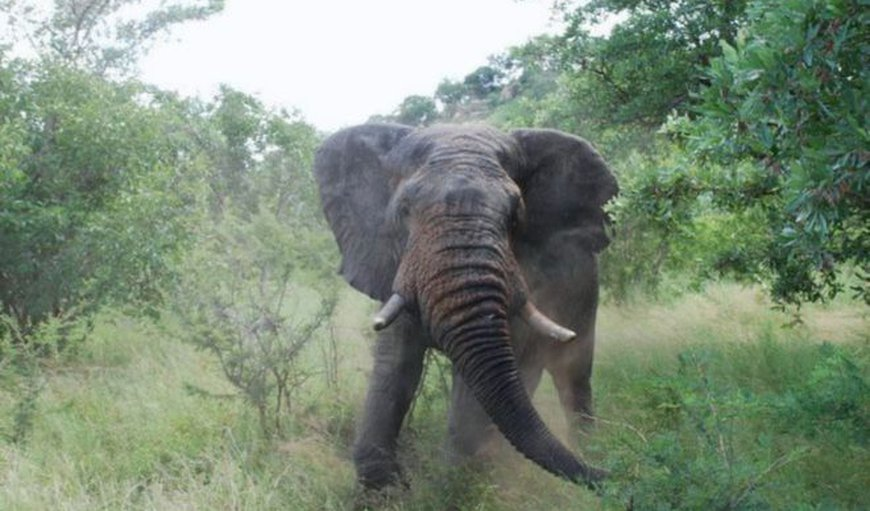 Angry elephant bull in musth