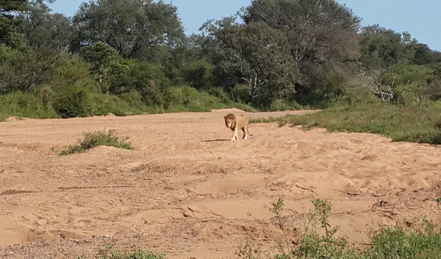 Amazing sighting of a lion on the sand bank in front of the lodge