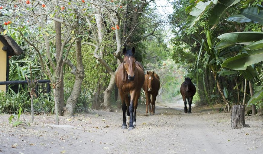 We organize Horse safaris into the iSimangaliso Wetland Park in Hluhluwe, KwaZulu-Natal , South Africa