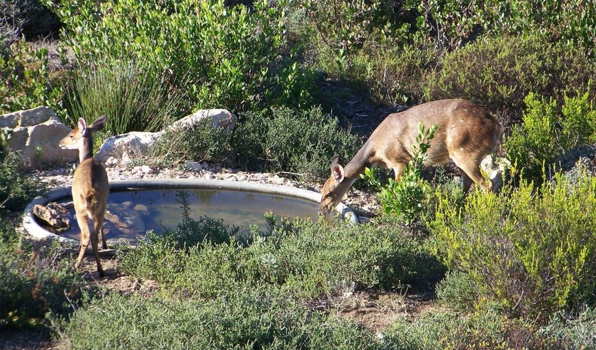 Small buck drinking water in front of guest house