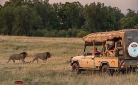 Porini Lion Camp image