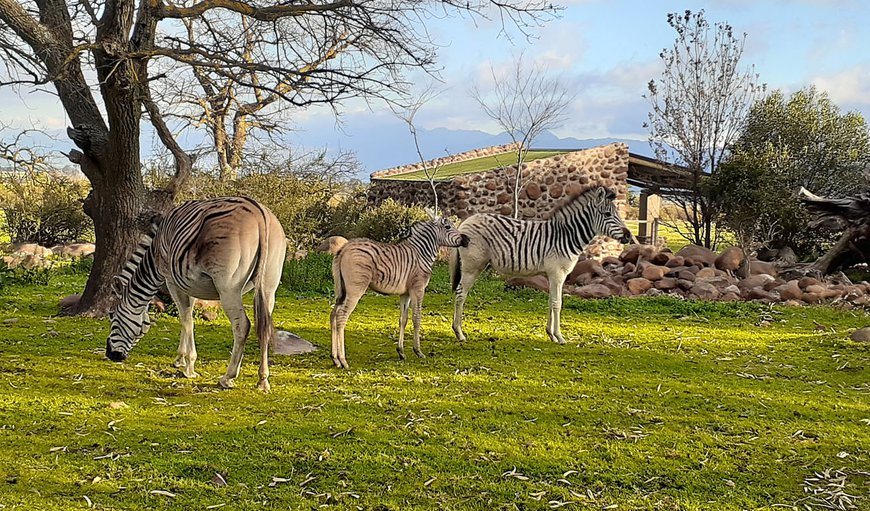 Zebra grazing. They may visit at your cottage.