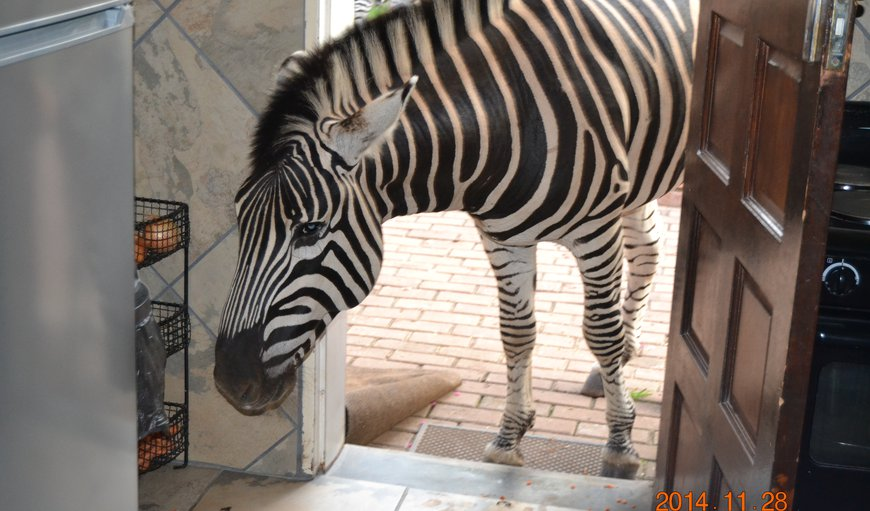 Zebra looking for something to nibble